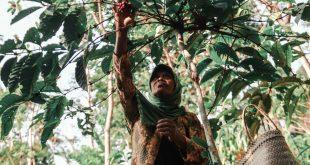 Panen Kopi Tempur Tak Bisa Dirayakan Petani