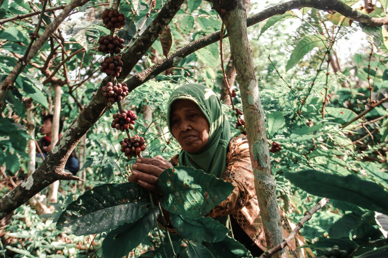 Petani kopi tempur Jepara